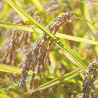 ハイゲンキ|玄米