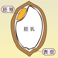 ハイゲンキ|胚芽・表皮